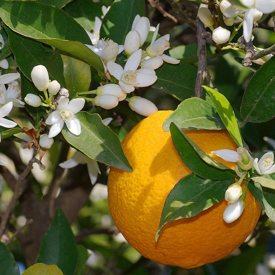 MALINALLI · herbolaria médica: NARANJO, NARANJA Y AZAHAR - Orange ...