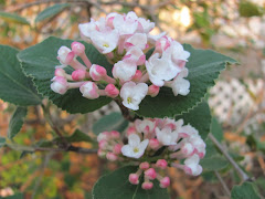 Viburnum burkwoodii &#39;Mohawk&#39;