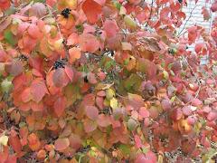 Viburnum burkwoodii 'Mohawk'