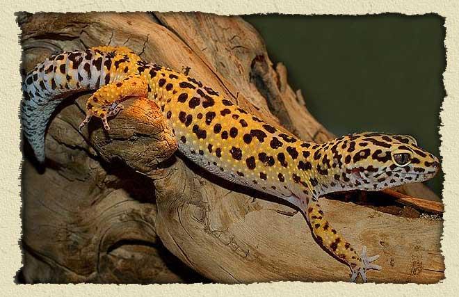 leopard gecko bg