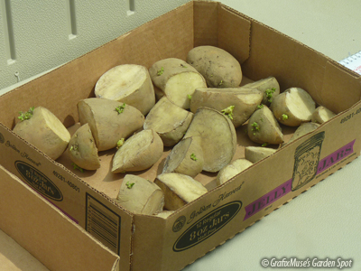 how to cut seed potatoes for planting