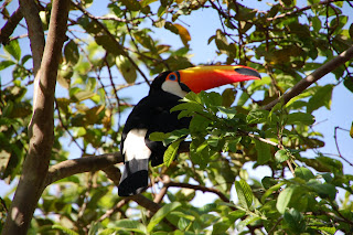 A wild Toucan we spotted in a tree at Iguassu Falls.
