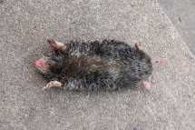 Mole Rodent