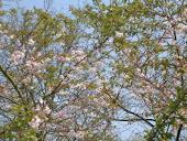 prunus autumnalis rosea..... es wurde Frühling