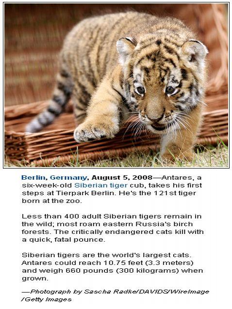 wallpaper tiger cub. tattoo tiger cubs wallpaper.