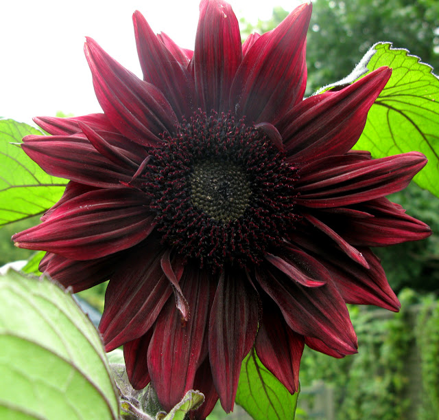 'Black Magic' sunflower.