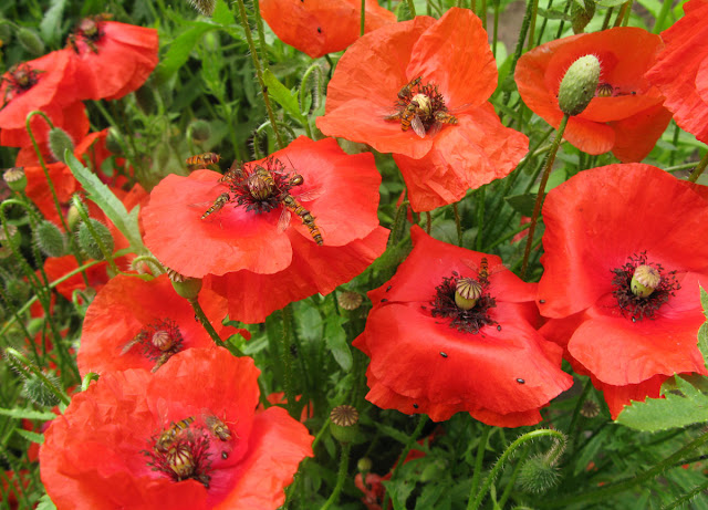 Hoverflies on red poppy flowers.