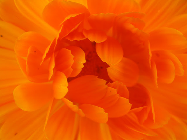 The bright orange of the centre of a pot marigold flower.