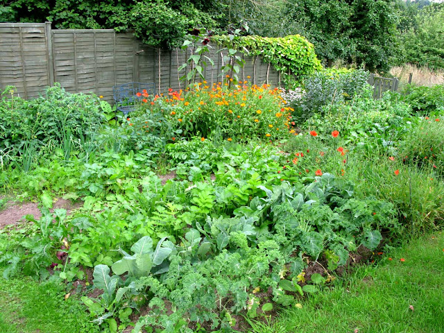 The vegetable plants coming to maturity.