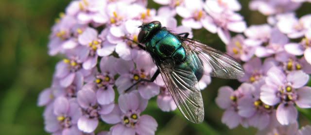 Greenbottle fly on pink yarrow flowers.