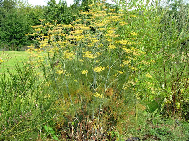 Common fennel plant in flower.