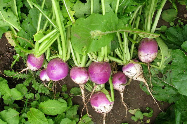 Bunch of turnips pulled and on the ground.