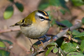 Firecrest Paxton Pits