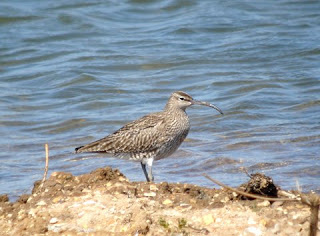 Whimbrel, Paxton Pits