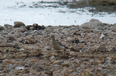 Buff-breasted Sandpiper at Paxton Pits