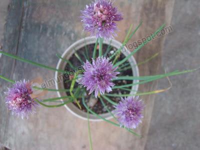 Cebollino , Allium schoenoprasum