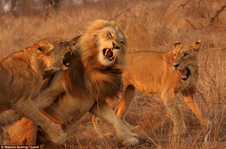 leones videos: