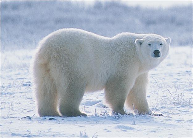 Urso Polar VS Tigre Siberiano Polar-bear-picture