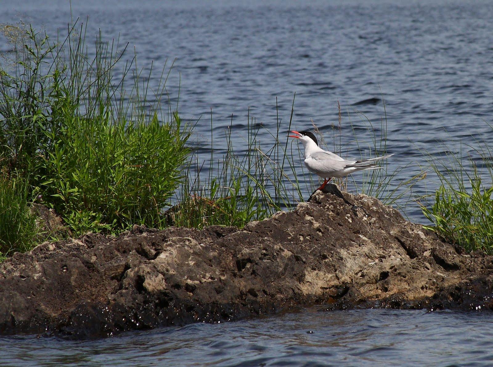 Northern maine birds fish river lake nesting larids for Maine freshwater fish