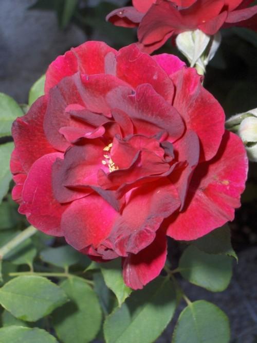 [Rosas+Burdeos+velvet.jpg]