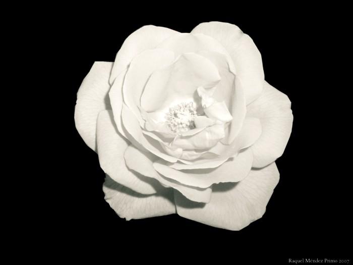 [Una+rosa+blanca.jpg]