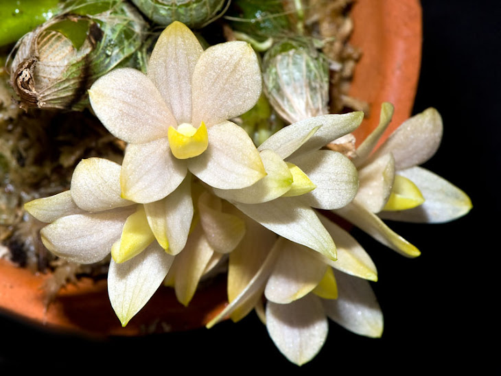 Dendrobium laevifolium creme