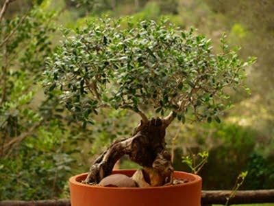 Olivo Bonsai doble tronco