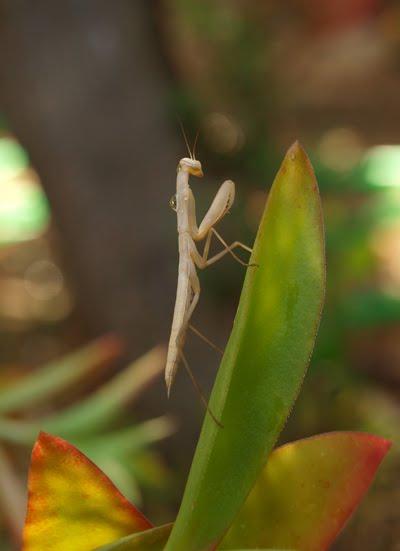 Mantis Albina