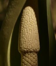 Detall Flor Calocacea