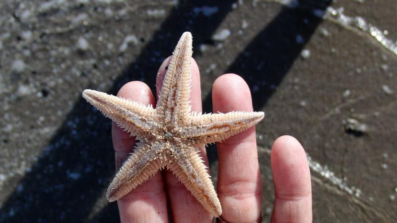 stella marina, rosolina
