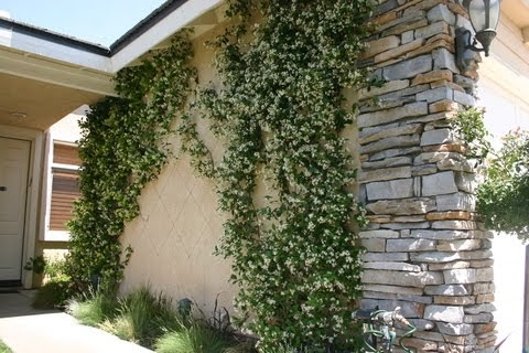 greener designs how to care for star jasmine trachelospermum jasminoides. Black Bedroom Furniture Sets. Home Design Ideas