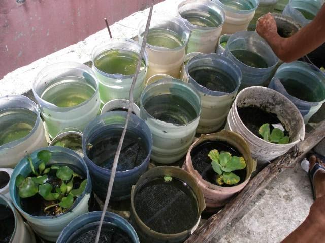 Pele blog 39 s criadero de bettas rep blica dominicana for Peces para criar
