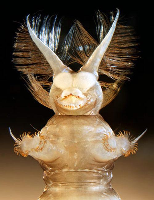 Larva che comanda