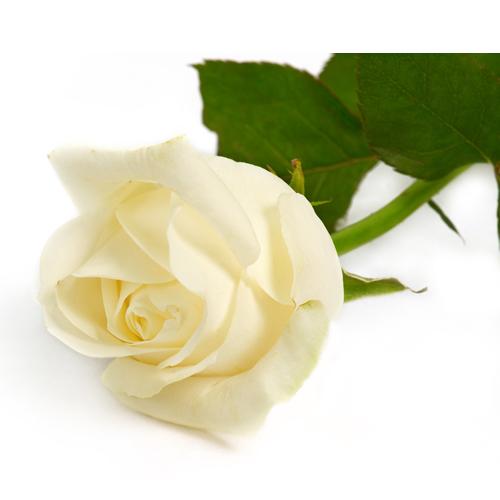 whiterose Beautiful 9 Rose Flowers Pics