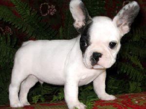 Dougie's tree **__** French-bulldog-puppy