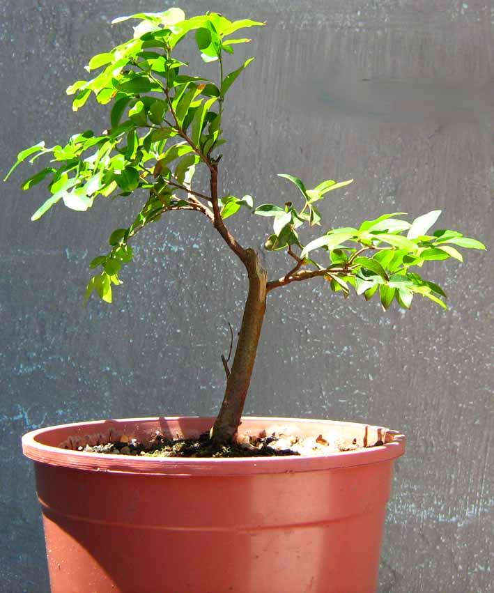 Ricardo san bonsai blog bonsai de jabuticaba como - Como cuidar bonsais ...