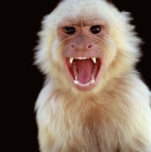 Angry as a Monkey!