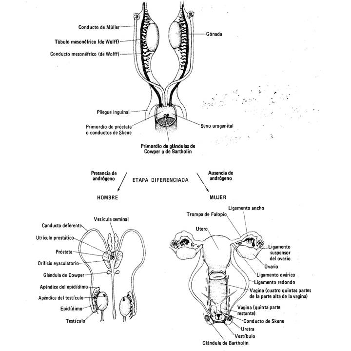 Tips: Cómo se desarrollan los genitales internos?