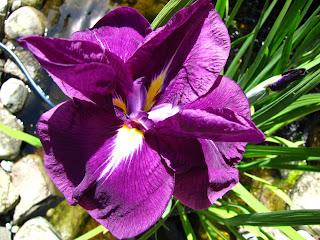 Iris ensata 'Jedo Jima'