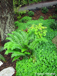 Oregon Oxalis with Ferns and Vine Maple