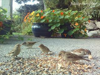 House ('English') Sparrows