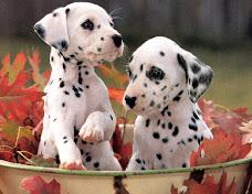 Dal-pups