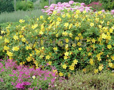 Meilleurs arbustes de jardin arbustes feuillage d coratif et arbustes persistants les - Arbuste decoratif persistant ...