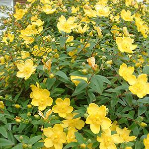 Meilleurs Arbustes de Jardin  Arbustes à feuillage décoratif et Arbustes persistants: Les ...