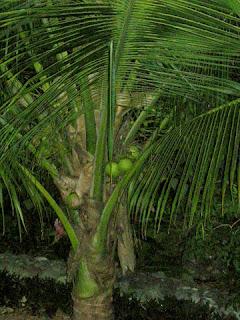 coconuts, Honduras