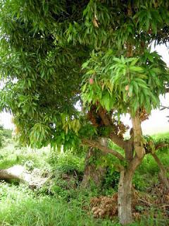 Mango tree, La Ceiba, Honduras