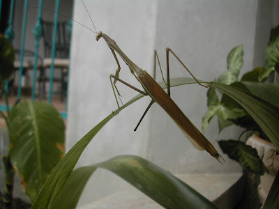 Walking stick bug, La Ceiba, Honduras
