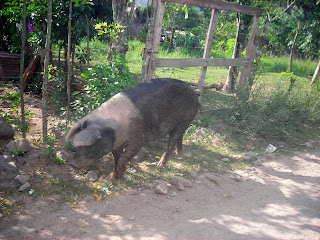 Pig, Honduras