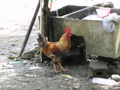 Rooster, Honduras