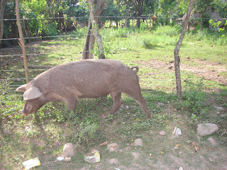 Pig in the street, Yaruca, Honduras